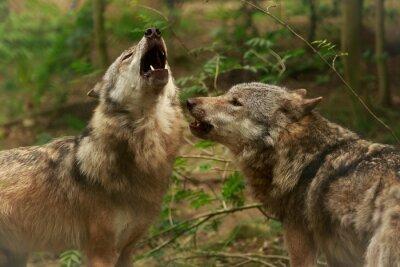 Fototapeta Wycie wilków