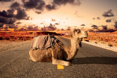 Fototapeta Wycieczki drogowe i przygody.Marocco landscape.dromedary ride.Africa travel. Dromader i droga.