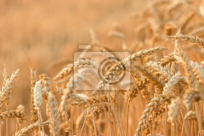 Fototapeta Wygląd pola pszenicy późnym popołudniem