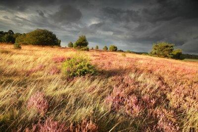 Fototapeta Wzgórze z jałowcami, wrzos i trawa