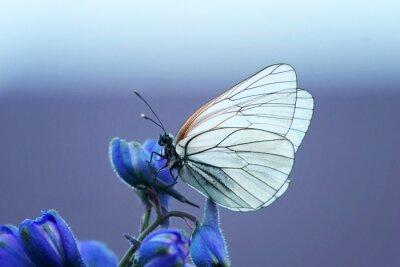 Fototapeta белая бабочка на синем цветке