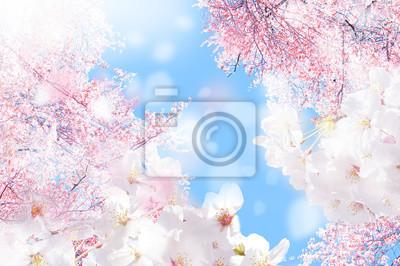 Fototapeta 桜 ほ わ 三