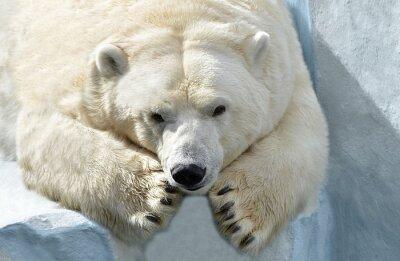 Fototapeta Белый медведь.