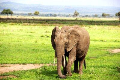 Fototapeta Африканский слон