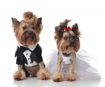 Fototapeta Yorkshire Terrier klejony do ślubu panna młoda jak miotła i s