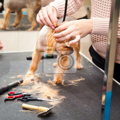Yorkshire Terrier Pies Fryzura Salon Piękności Fototapeta