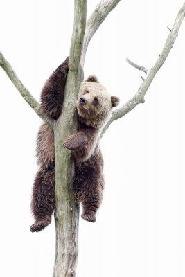 Fototapeta Young brown bear in a tree