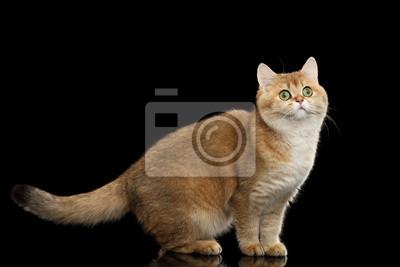 Zabawna Kot Brytyjski Złoto Szynszyla Koloru Z Zielonymi Oczami