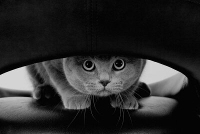 Fototapeta Zabawna szkocki kot z dużymi okrągłymi oczami patrząc przez otwór (w kolorze czarnym i białym, stylu retro)
