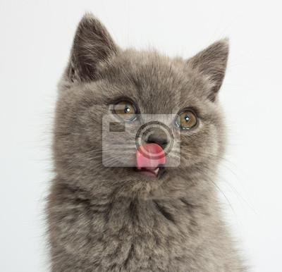 Zabawne Kot Brytyjski Krótkowłosy Niebieski Kotek Na Jasnym