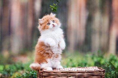 Fototapeta zabawny puszysty kotek w lesie