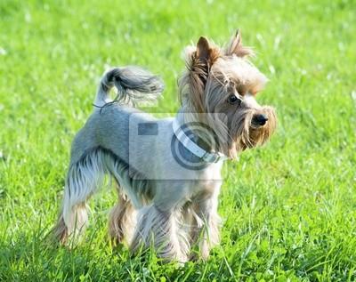 Zadbana Fryzura Yorkshire Terrier Fototapeta Fototapety Yorkshire