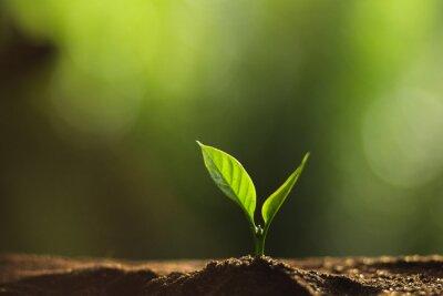 Fototapeta Załóż drzewo w naturze, drzewo kawowe, świeże