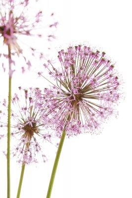 Fototapeta Zamknij się kwiaty niektórych Szczypiorek