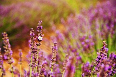 Fototapeta Zamknij się obraz lawendy kwiaty na słoneczny dzień