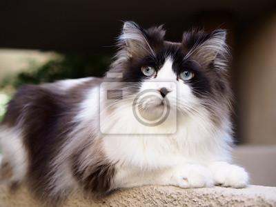 Zasłużony Portret Regal Przystojny Brązowy Bi Kolor Długowłosy