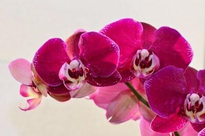 Fototapeta zbliżenie fioletowy orchide