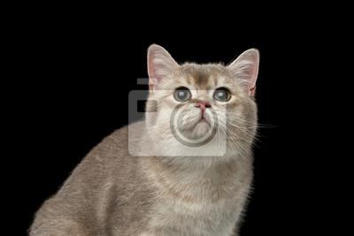 Zbliżenie Portret Adorable Kot Brytyjski Z Zielonymi Oczami Patrząc