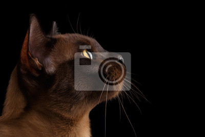 Zbliżenie Portret Birmański Kot W Widoku Profilu Samodzielnie