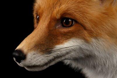 Fototapeta Zbliżenie portret Red Fox w profilu samodzielnie na czarny