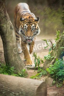 Fototapeta Zbliżenie tygrysa syberyjskiego znany również jako Amur Tiger (Panthera tigris altaica), największą dzienną kota