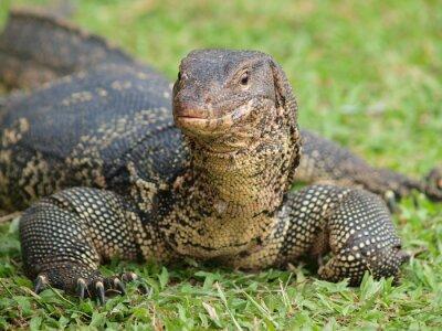 Fototapeta Zbliżenie z monitora jaszczurka - Varanus na zielonej trawie naciskiem na