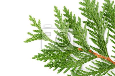 Zbliżenie zielone gałązki cyprysu rodziny thuja na białym tle