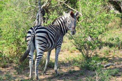 Fototapeta Zebra w Afryce Patrząc wstecz
