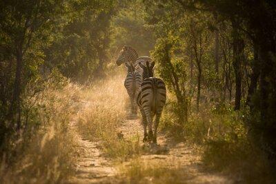 Fototapeta Zebry auf einem ścieżka im Gegenlicht