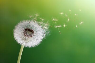 Fototapeta Zegary Dandelion w porannym słońcu