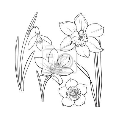 9e5258d2d6b395 Fototapeta Zestaw letnich kwiaty, narcyz, przebiśnieg, szafran, szkic ilustracji  wektorowych samodzielnie na
