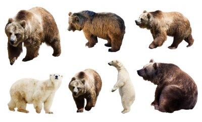 Fototapeta Zestaw wiele niedźwiedzi. Pojedynczo na bia?