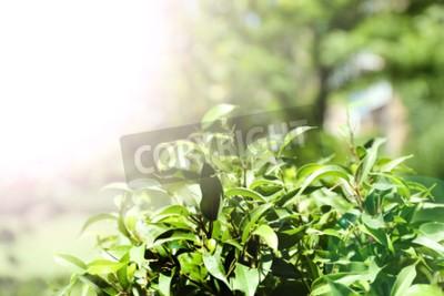 Fototapeta Zielona herbata krzewów ze świeżych liści, na zewnątrz