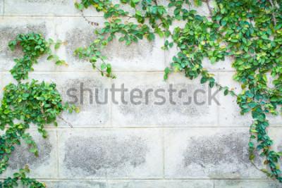 Fototapeta Zielona pełzacz roślina na Białej ściany Pięknym tle