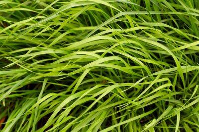 Fototapeta Zielona trawa w tle