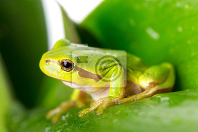 Fototapeta Zielone drzewa żaba na liściu z bliska