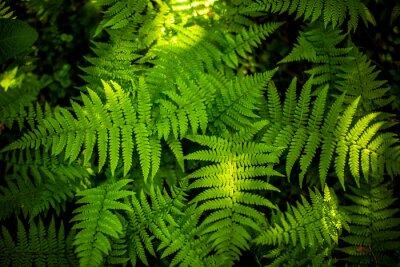 Fototapeta Zielone liści paproci tekstury. Tła liści tekstury