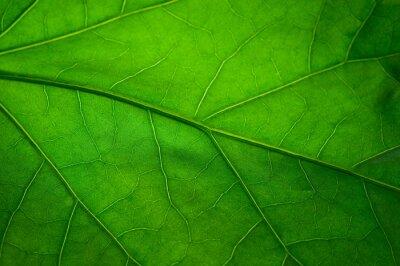 Fototapeta Zielony liść