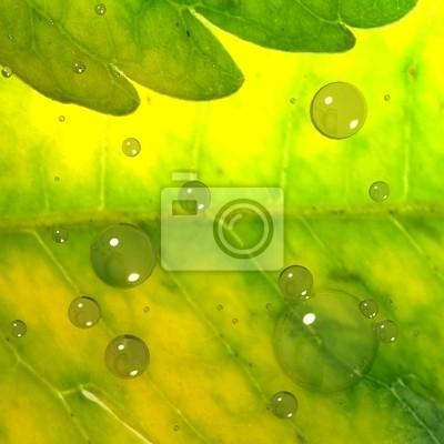 Fototapeta Zielony liść z bańki na adv celów innych lub użytkowania