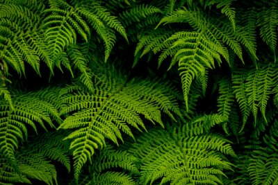 Fototapeta zielony paproci