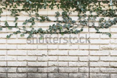 Fototapeta Zielony pełzacza rośliny dorośnięcie na starej ścianie z cegieł