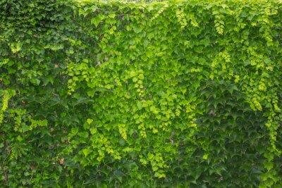 Fototapeta Zielony żywy płot z liści bluszczu