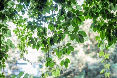 Fototapeta zielonych liści w tle