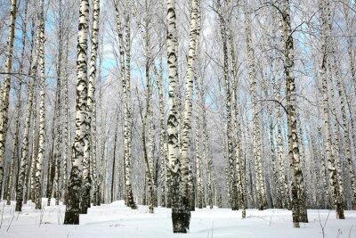 Fototapeta Zima brzozowy gaj z pokrytych śniegiem gałęzi