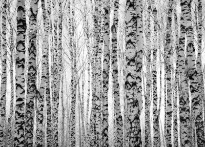 Fototapeta Zima pni drzew brzozy