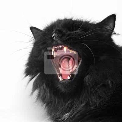 Zły Czarny Kot Perski Na Białym Tle Fototapeta Fototapety Perski