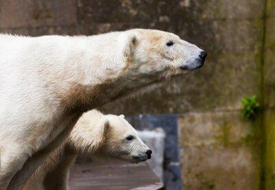 Fototapeta zobaczyć niedźwiedzie polarne
