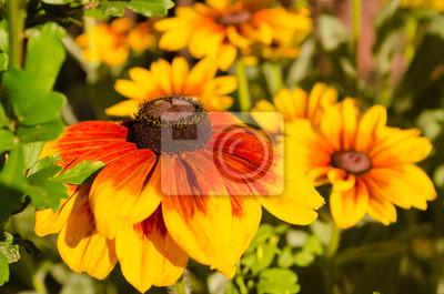Zolte I Czerwone Kwiaty W Ogrodzie Kwitnace Latem Summertime Fototapeta Fototapety Platki Kwiatow Rudbeckia Nogietek Myloview Pl