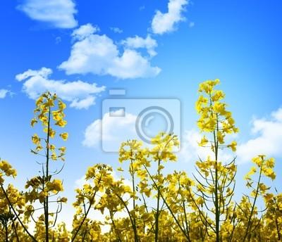 żółte kwiaty i błękitne niebo