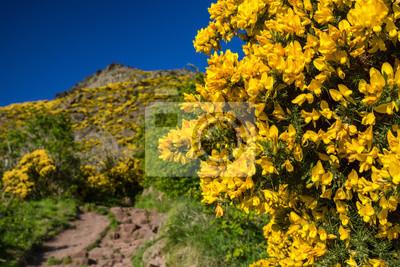 Żółte kwiaty w górach, Szkocja